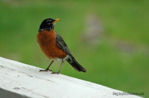 Baby robins feeding searching for worms wausau